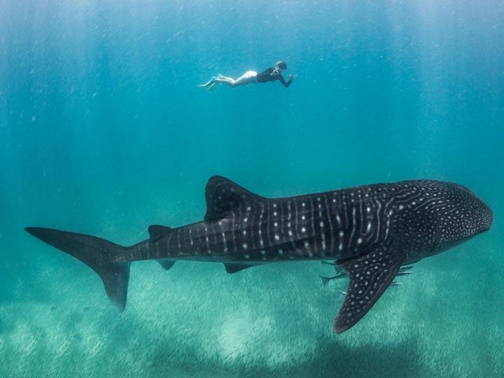 HERON WHALE SHARK SWIM DIVE