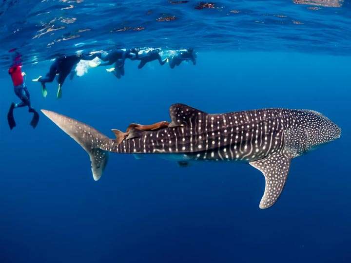 LATTITUDE 22 WHALE SHARK SWIM DIVE