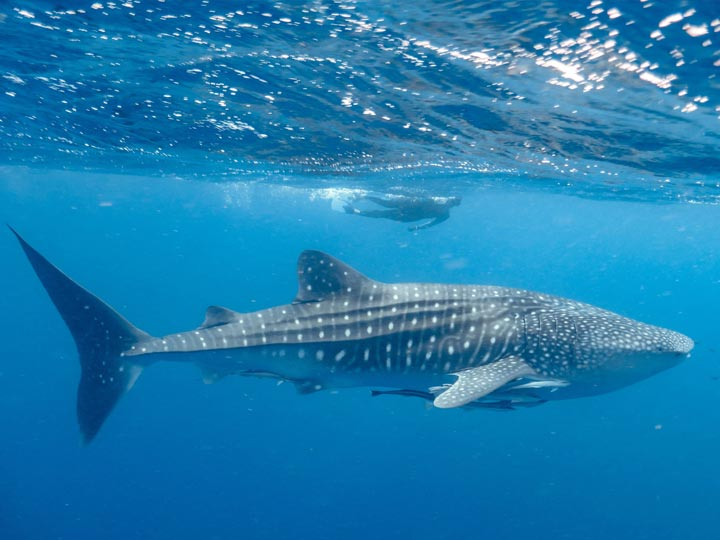 SEAZONE WHALE SHARK SWIM DIVE