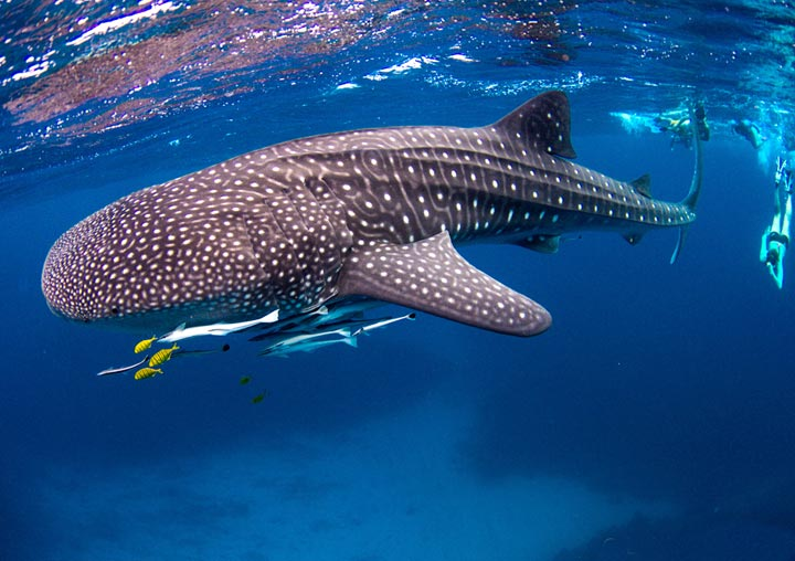 Whale Shark Swim Dive The Magellan
