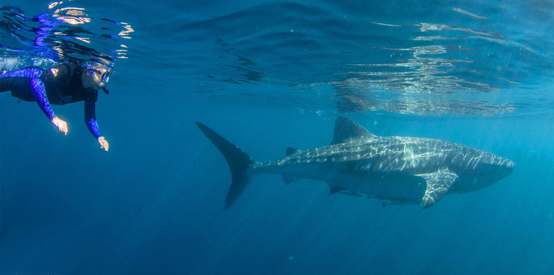 whale shark swim dive
