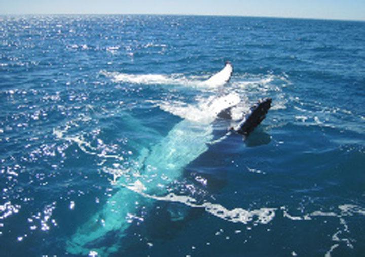 Blue Strike whale watch perth hillarys