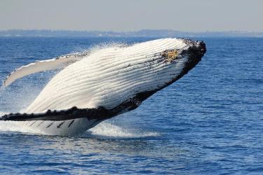 Blue Strike whale watch whale breaching