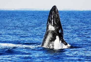 Blue Strike whale watch whale head