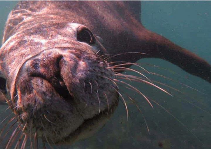 MOONSHINE II perth diving seal