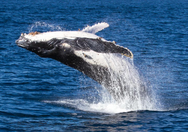2021 WHALE WATCHING BOAT CRUISES whale breaching West Australia