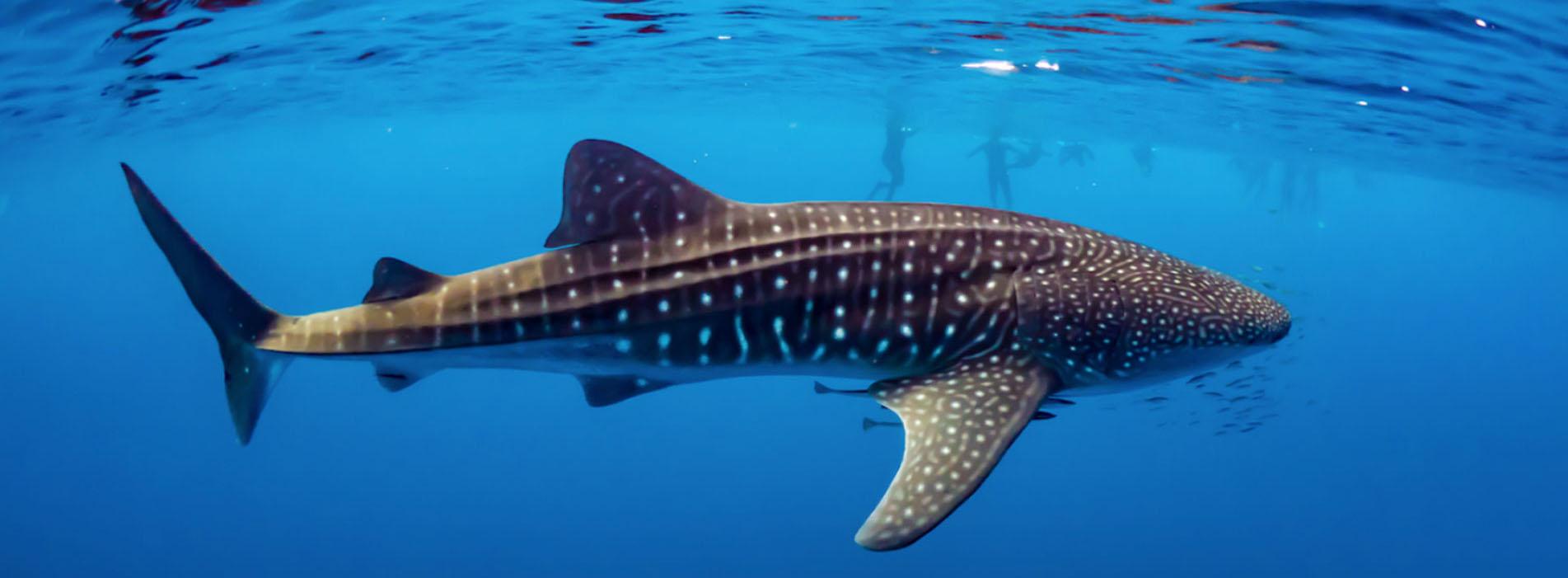 WHALE SHARK SWIM TOURS